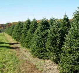 Frasier Fir Christmas Tree Farm