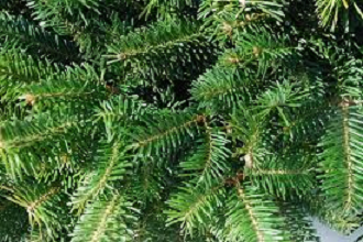Frasier Fir needles are short and soft